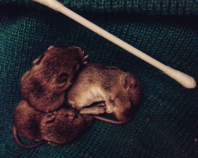 Fortellingen om tre små mus og de strenge pinnsvinreglene